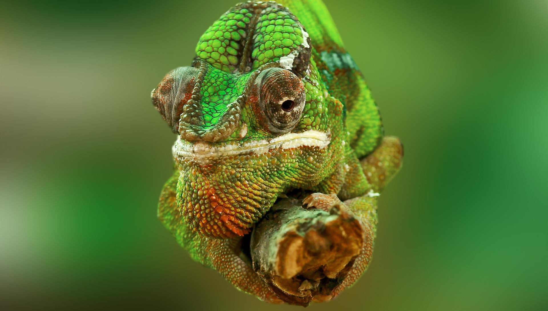 Photo d'un caméléon vue de face, symbole de l'agence Handishare Intérim